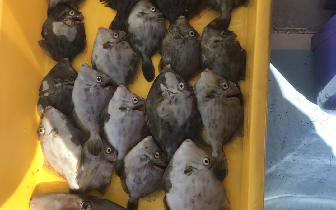 11日カワハギ&フグ釣り
